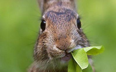 Nu uw konijn inenten! RHD konijnenziekte heerst weer