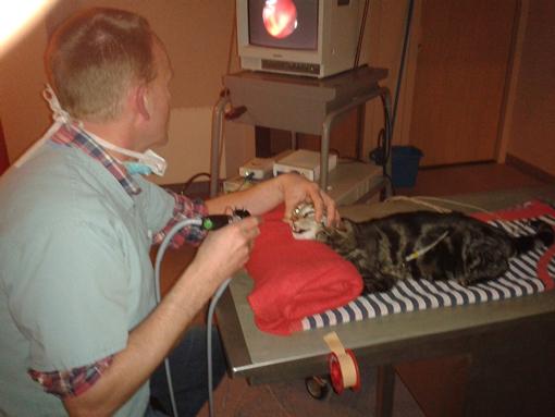 André Boersma: neusscopie bij een kat